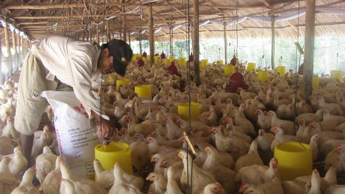 Giá gà rớt thảm hại, thấp hơn giá rau muống - Ảnh 2.