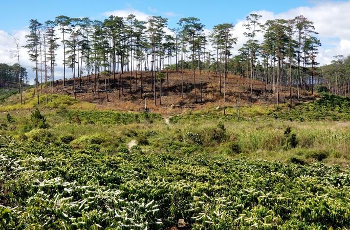 Kinh hoàng rừng thông bị tàn phá và rao bán cả đất rừng như vô chủ - Ảnh 14.