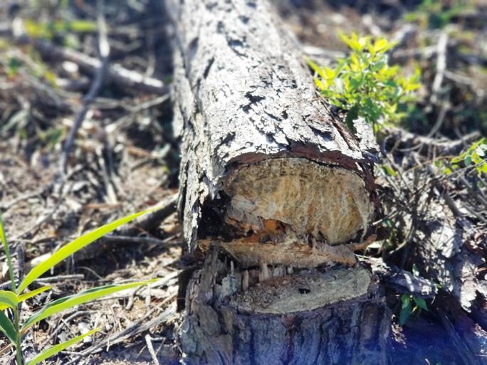 Kinh hoàng rừng thông bị tàn phá và rao bán cả đất rừng như vô chủ - Ảnh 10.