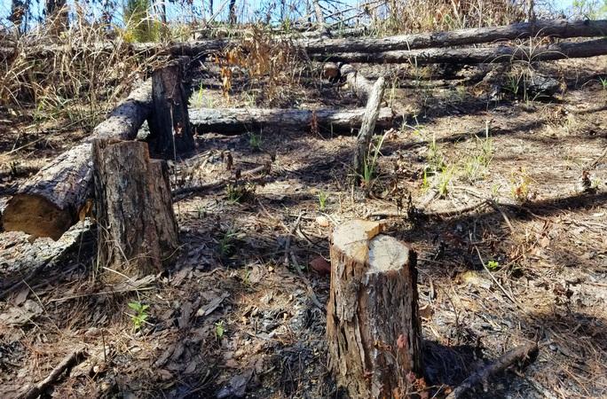 Kinh hoàng rừng thông bị tàn phá và rao bán cả đất rừng như vô chủ - Ảnh 2.