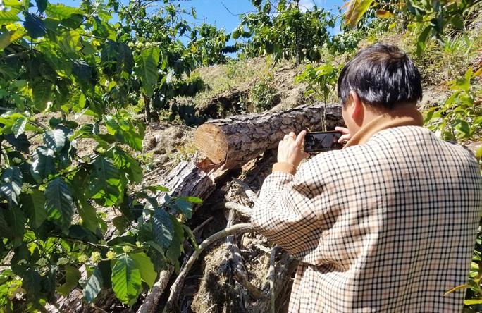 Kinh hoàng rừng thông bị tàn phá và rao bán cả đất rừng như vô chủ - Ảnh 5.