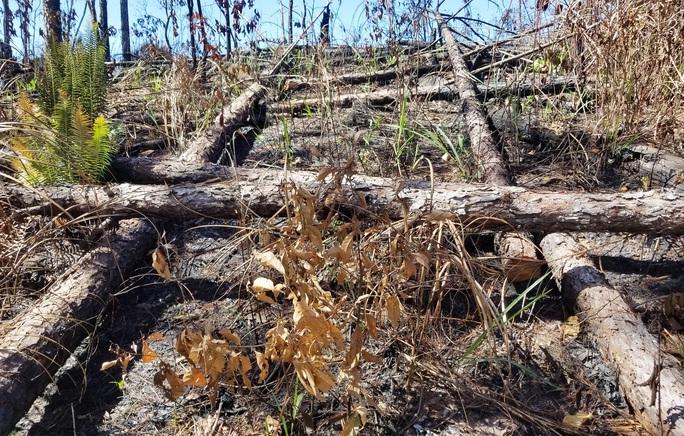 Kinh hoàng rừng thông bị tàn phá và rao bán cả đất rừng như vô chủ - Ảnh 4.