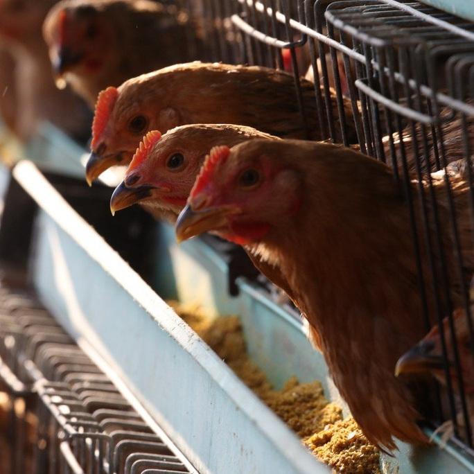 Cúm gà H5N1 bùng phát giữa đại dịch corona  - Ảnh 1.