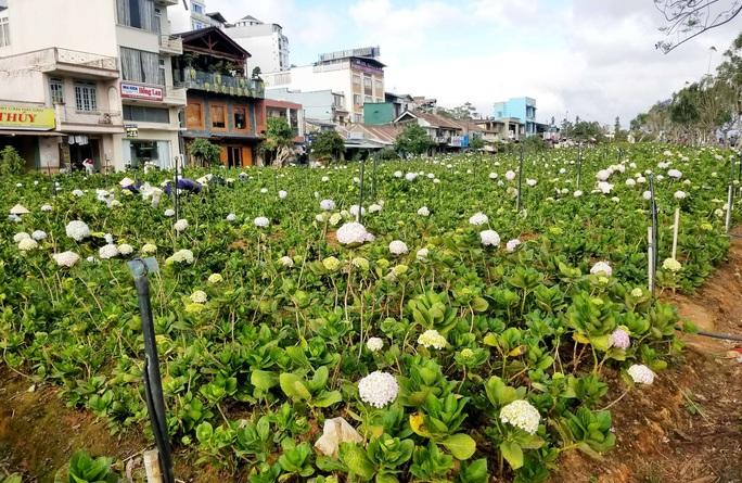 Vườn hoa cẩm tú cầu ngay công viên Ánh sáng không có khách du lịch tham quan, chụp ảnh.