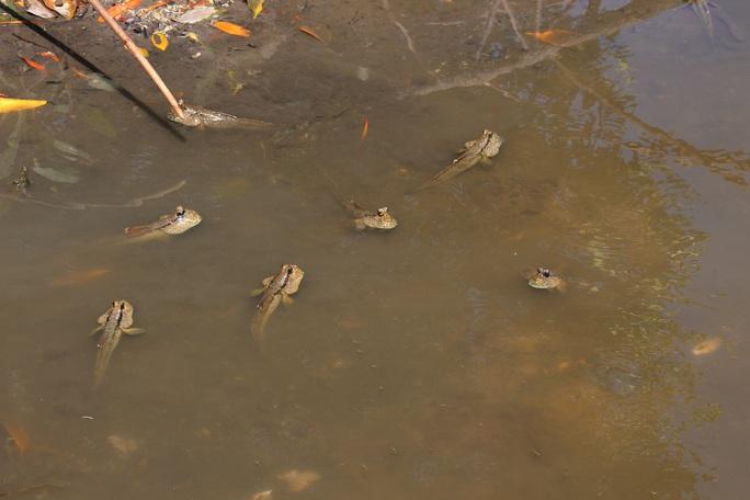 CLIP: Săn bắt loài cá biết leo cây đang dần cạn kiệt ở Cà Mau - Ảnh 4.