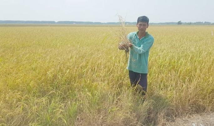 Dân lấy nước mặn, hơn 700 ha lúa ngắc ngoải - Ảnh 1.