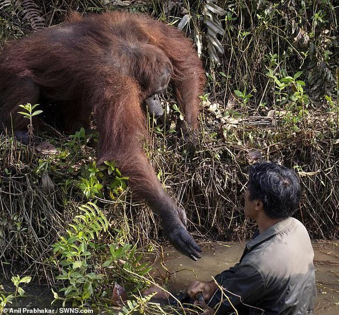 Cứu vật, vật trả ơn: đười ươi vươn tay muốn kéo  người đàn ông dưới bùn - Ảnh 2.