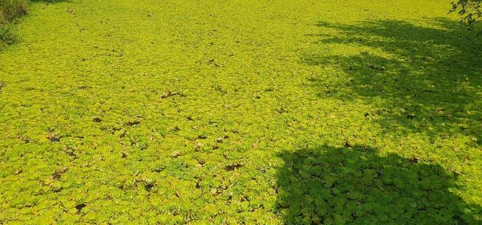 Lão nông 71 tuổi thu nhập 24 triệu đồng/tháng nhờ nuôi ốc bươu đen - Ảnh 1.