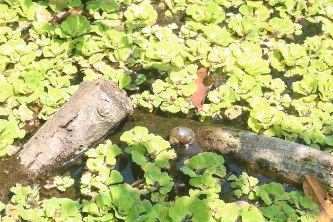 Lão nông 71 tuổi thu nhập 24 triệu đồng/tháng nhờ nuôi ốc bươu đen - Ảnh 8.