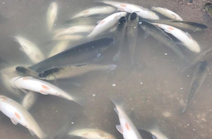 Cá chết hàng loạt bất thường trên sông Chu - Ảnh 3.