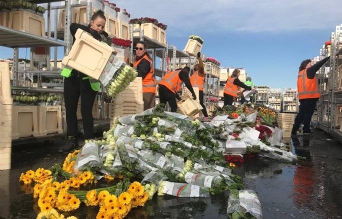 Hà Lan hủy bỏ hàng triệu cây hoa vì Covid-19 - Ảnh 1.