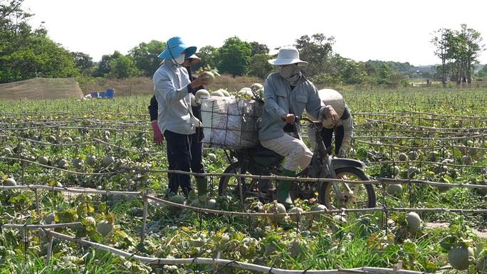 Clip: Dưa lưới giảm giá mạnh, nông dân như ngồi trên lửa - Ảnh 10.