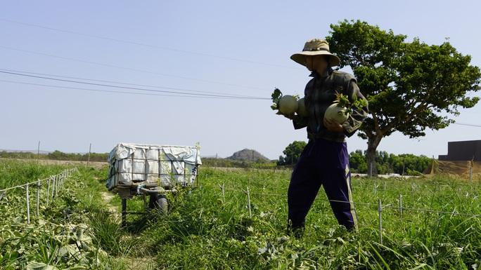 Clip: Dưa lưới giảm giá mạnh, nông dân như ngồi trên lửa - Ảnh 1.