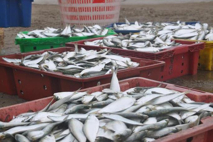 Nhiều người dậy thật sớm rủ nhau ra biển bắt hàng tấn cá trích - Ảnh 3.