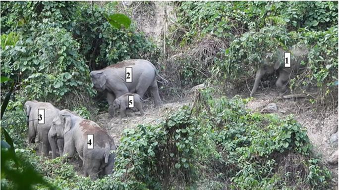 Lần đầu phát hiện đàn voi có cả voi con ở Quảng Nam - Ảnh 1.