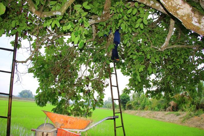 Về miền Tây thưởng thức trái rừng màu tím có vị ngọt xen lẫn chua, chát - Ảnh 3.
