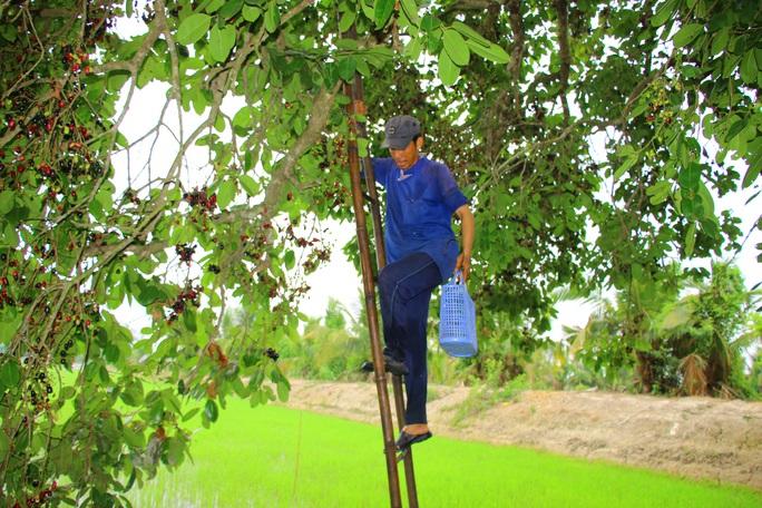 Về miền Tây thưởng thức trái rừng màu tím có vị ngọt xen lẫn chua, chát - Ảnh 5.