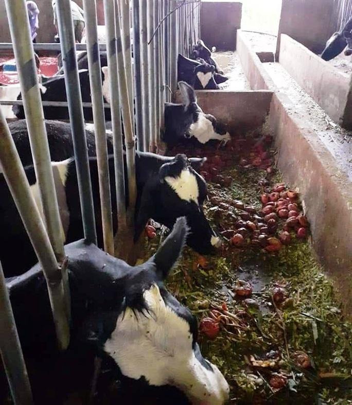 Lâm Đồng: Sét đánh chết gục 10 con bò sữa ngay tại máng ăn - Ảnh 2.