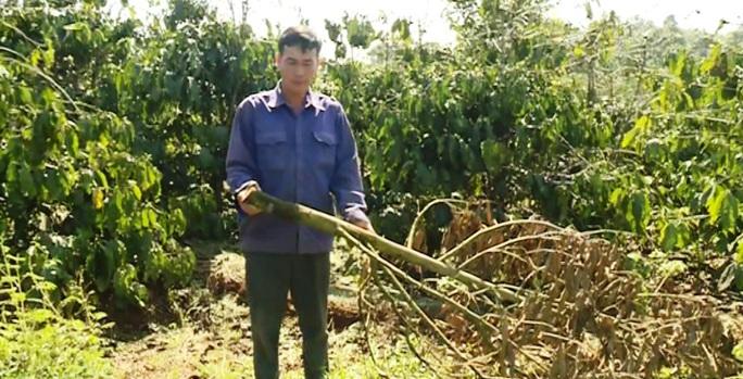 Hàng trăm cây sầu riêng bị kẻ xấu chặt hạ không thương tiếc - Ảnh 3.