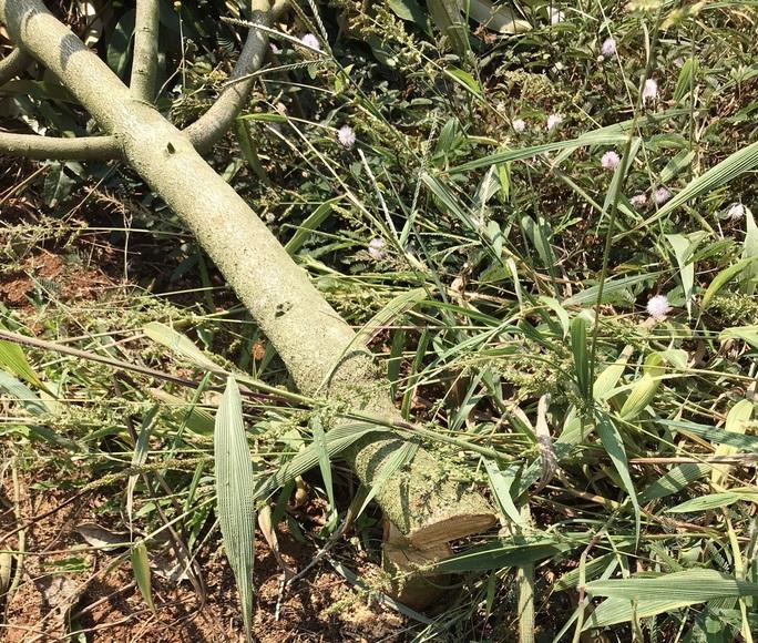 Hàng trăm cây sầu riêng bị kẻ xấu chặt hạ không thương tiếc - Ảnh 2.