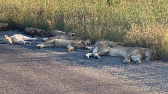 Sư tử ngủ trưa trên đường khi con người vào nhà trốn đại dịch - Ảnh 1.