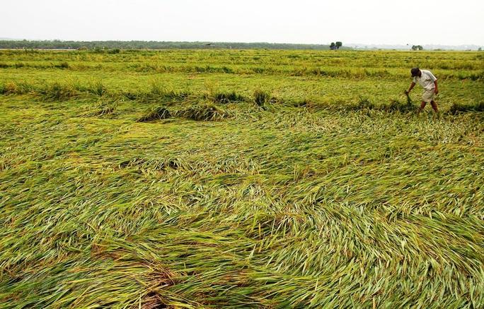 Quảng Bình: Sau 5 phút mưa đá, 36 hecta lúa chuẩn bị gặt đổ rạp - Ảnh 1.