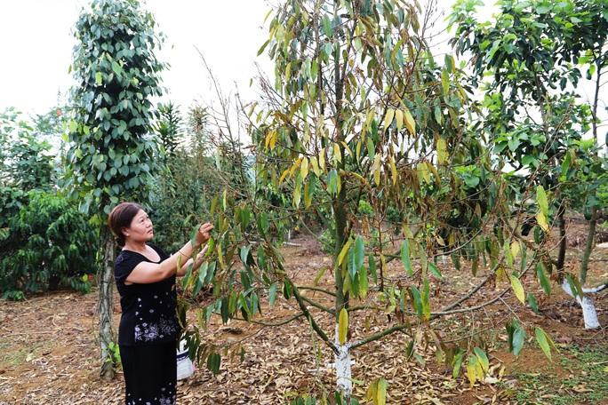 Lâm Đồng: Lại phát hiện vườn sầu riêng bị kẻ xấu đầu độc - Ảnh 4.