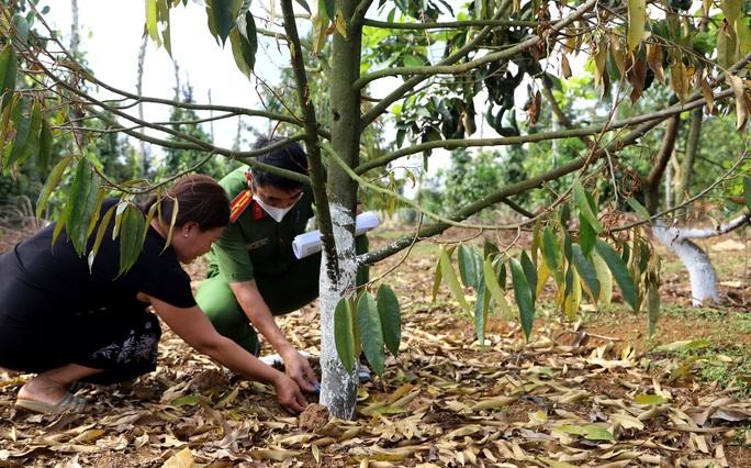 Lâm Đồng: Lại phát hiện vườn sầu riêng bị kẻ xấu đầu độc - Ảnh 3.