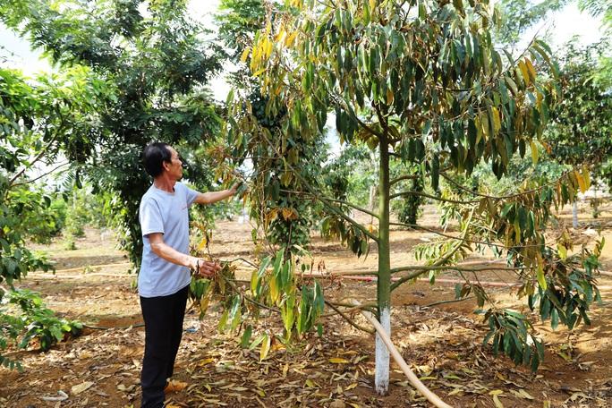 Lâm Đồng: Lại phát hiện vườn sầu riêng bị kẻ xấu đầu độc - Ảnh 5.