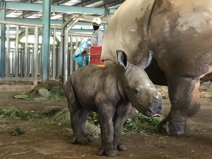Vinpearl Safari đón tê giác thứ 3 chào đời - Ảnh 1.