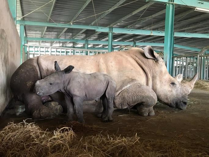 Vinpearl Safari đón tê giác thứ 3 chào đời - Ảnh 2.