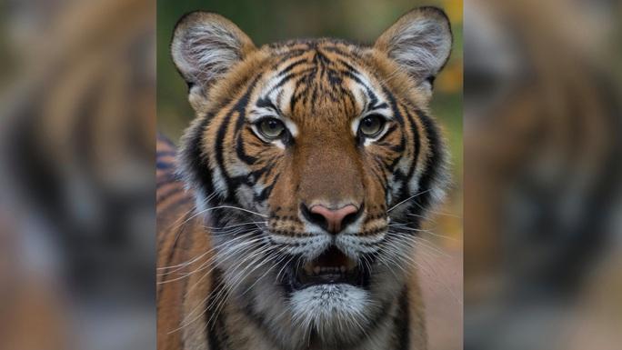 Mỹ: Hổ trong sở thú tại TP New York nhiễm Covid-19 - Ảnh 1.