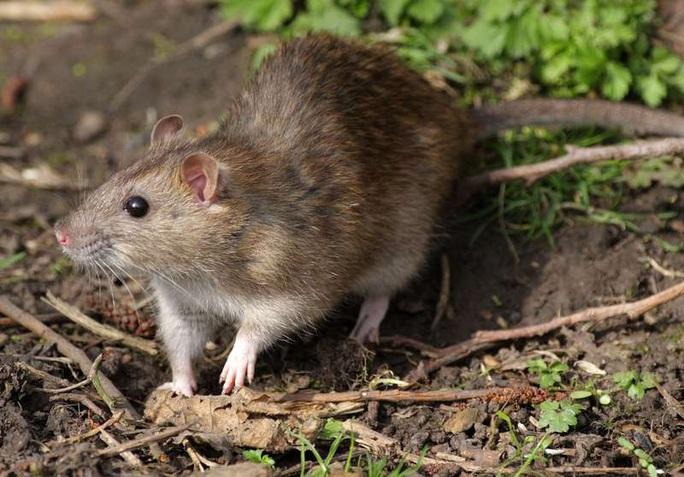 Chuột rời nơi ẩn náu trên toàn thế giới - Ảnh 1.