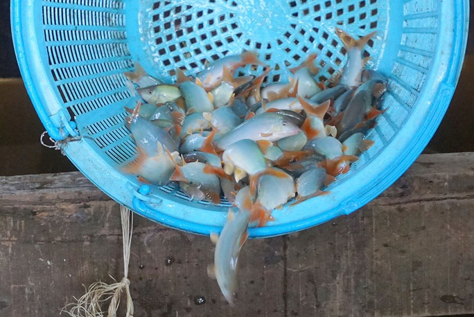 Chuyện con cá kêu éc éc ở Phú Tân - An Giang - Ảnh 1.