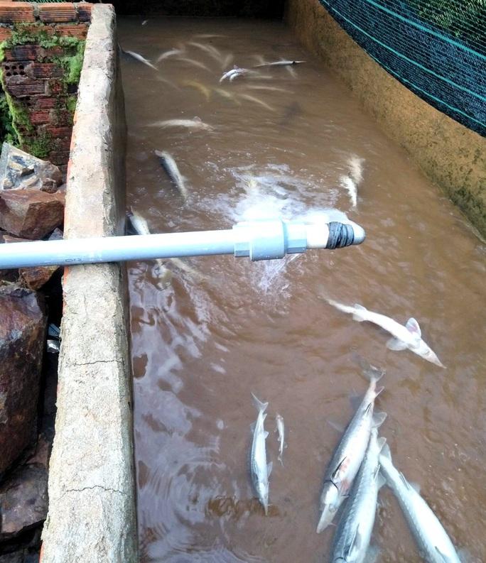 Hơn 5 tấn cá tầm thịt và 4 ngàn cá giống chết nghi bị đổ thuốc sâu đầu độc - Ảnh 6.