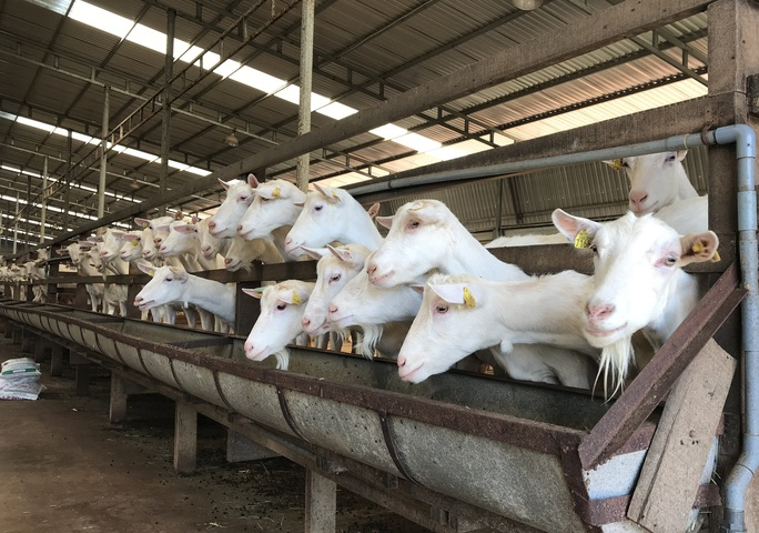 Ngắm đàn dê trắng tuyệt đẹp, lớn nhất Việt Nam - Ảnh 1.