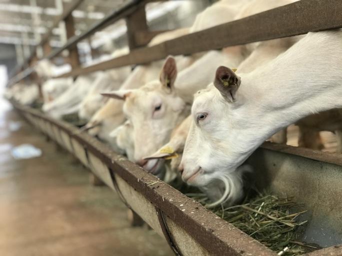 Ngắm đàn dê trắng tuyệt đẹp, lớn nhất Việt Nam - Ảnh 3.