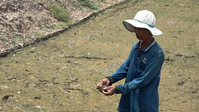 Nông dân ngồi khóc trên bờ ruộng vì lúa bất ngờ chết sạch - Ảnh 2.