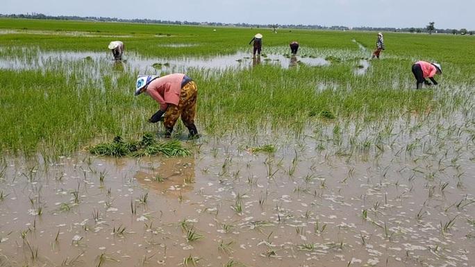 Nông dân ngồi khóc trên bờ ruộng vì lúa bất ngờ chết sạch - Ảnh 3.