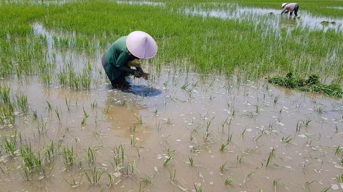Nông dân ngồi khóc trên bờ ruộng vì lúa bất ngờ chết sạch - Ảnh 4.