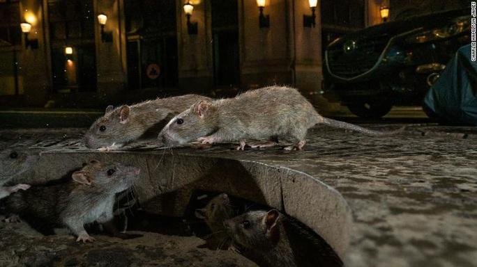 Covid-19 khiến chuột hoành hành ở Mỹ - Ảnh 1.