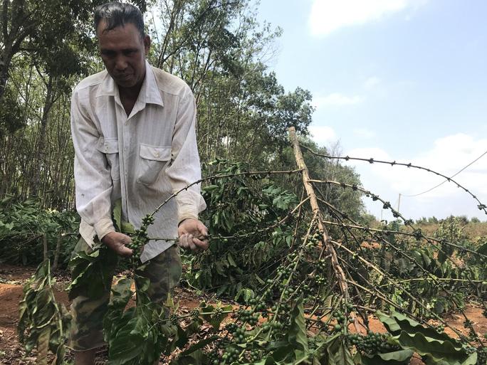 Chặt hạ hàng ngàn cây cà phê vì tranh chấp đất? - Ảnh 3.