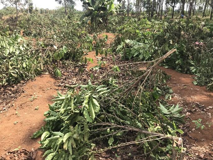 Chặt hạ hàng ngàn cây cà phê vì tranh chấp đất? - Ảnh 1.