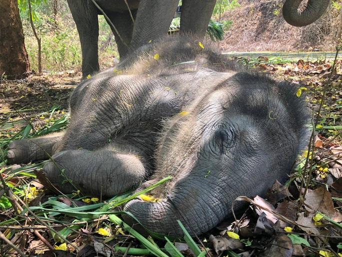 Thất nghiệp vì Covid-19, hàng nghìn chú voi Thái đi bộ về quê - Ảnh 3.