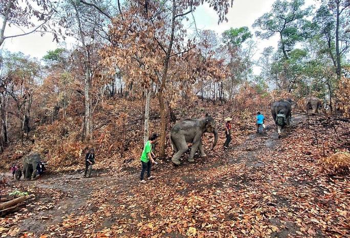 Thất nghiệp vì Covid-19, hàng nghìn chú voi Thái đi bộ về quê - Ảnh 1.