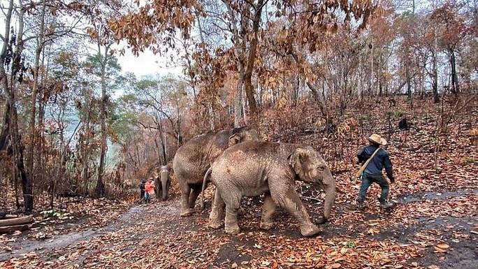 Thất nghiệp vì Covid-19, hàng nghìn chú voi Thái đi bộ về quê - Ảnh 2.