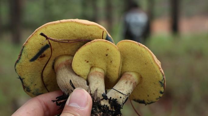 Kỳ thú săn nấm rừng thông Đà Lạt - Ảnh 9.