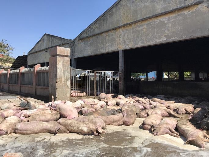 Hàng chục con lợn chết trước khi vào lò mổ - Ảnh 1.