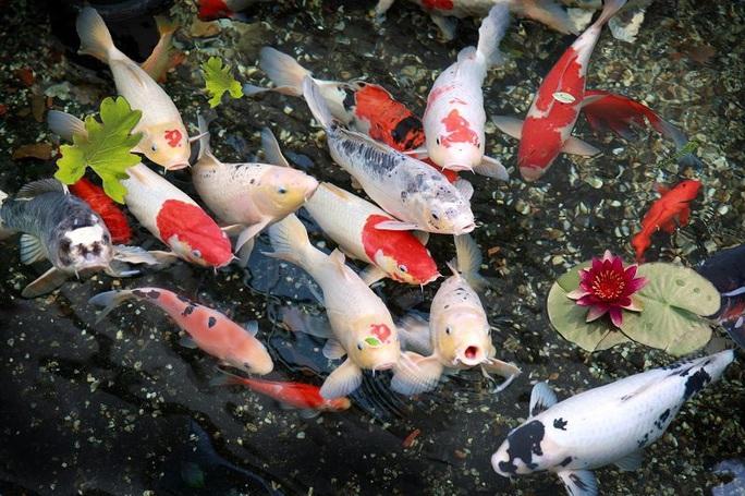 Đà Nẵng: Hai thanh niên trộm đàn cá Koi gần trăm triệu đồng, nấu làm mồi nhậu - Ảnh 1.