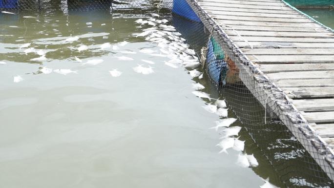 Cá chết bất thường ở sông Chà Và, người nuôi ôm nợ - Ảnh 3.